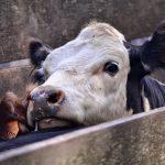 Jornadas rurales: vacuna de ganado