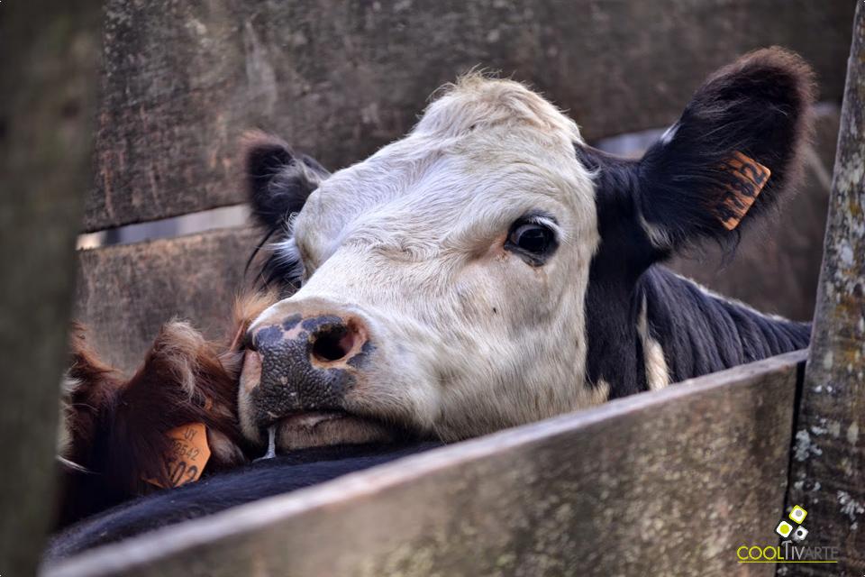 imagen - Jornadas rurales: vacuna de ganado en un campo de Lavalleja - Febrero 2015 Foto © Daniel Benoit